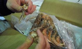 Sequestrate 16 tonnellate di pesce avariato