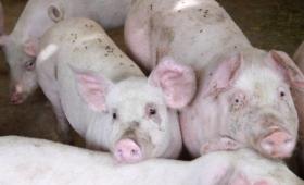 Scandalo alimentare in Cina, venduta carne proveniente da maiali malati