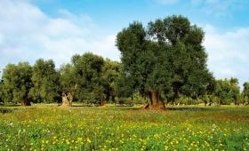 Truffa olio d'oliva, arriva il tarocco made in Italy