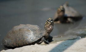 Maxi sequestro in Pakistan: carne di 4000 tartarughe diretta in Cina